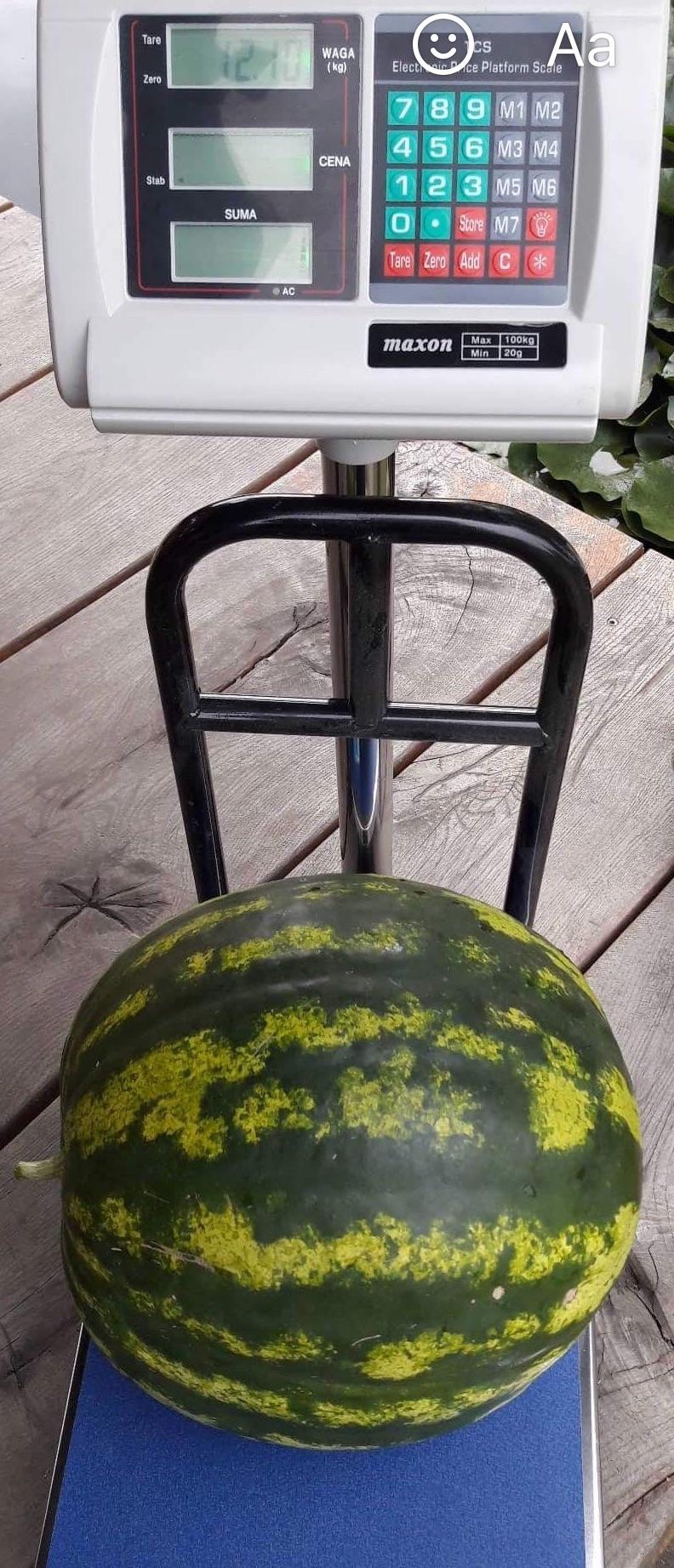 Didžiausias arbūzas, kokį šiemet kėdainiečiui pavyko užauginti, svėrė net 12 kg 100 g. Asmeninio archyvo nuotr.