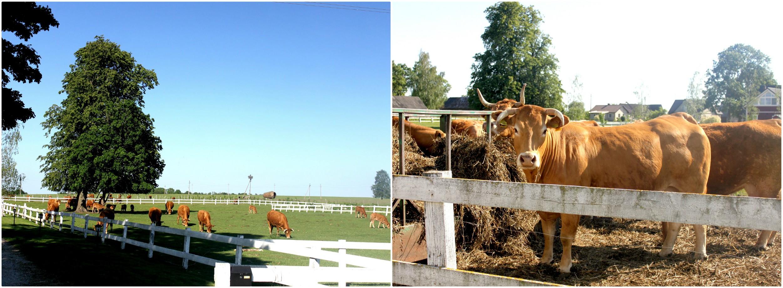 Ūkininkas Donatas verčiasi mėsinių limuzinų veislės galvijų auginimu. Šiuo metu jo ūkyje yra net apie 170 galvijų. V. Petrilevičienės nuotr.