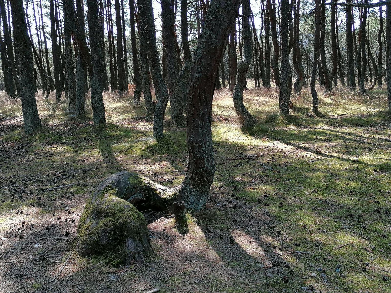 Kuršių nerijoje, likus kelioms dešimtims kilometrų iki Lietuvos sienos, akį traukia pušynas su neįprastai išsiraičiusiomis pušimis. Tai – Šokantis miškas. / I. Kriščiūnienės nuotr.