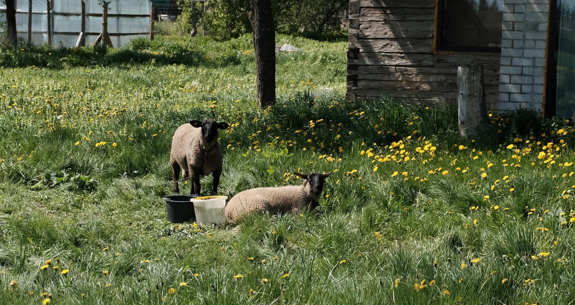 Šios avys nėra tos, kurioms reikia vilną kirpti, jos mėsinės. A. Kasparavičiaus nuotr.