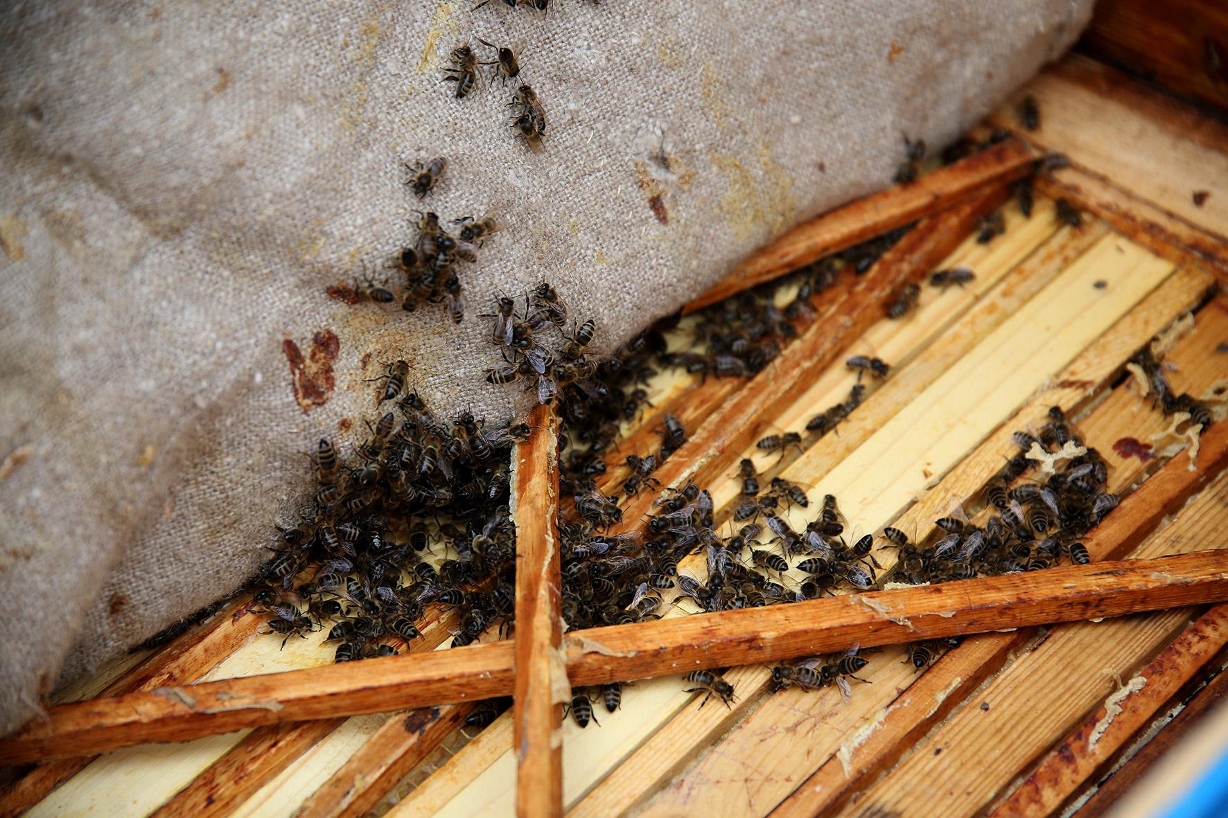 Šaltas šių metų kovas bitininkams nepagailėjo iššūkių. Užtrukusi žiema bites aviliuose užlaikė gerokai ilgiau nei įprasta. A. Barzdžiaus nuotr.