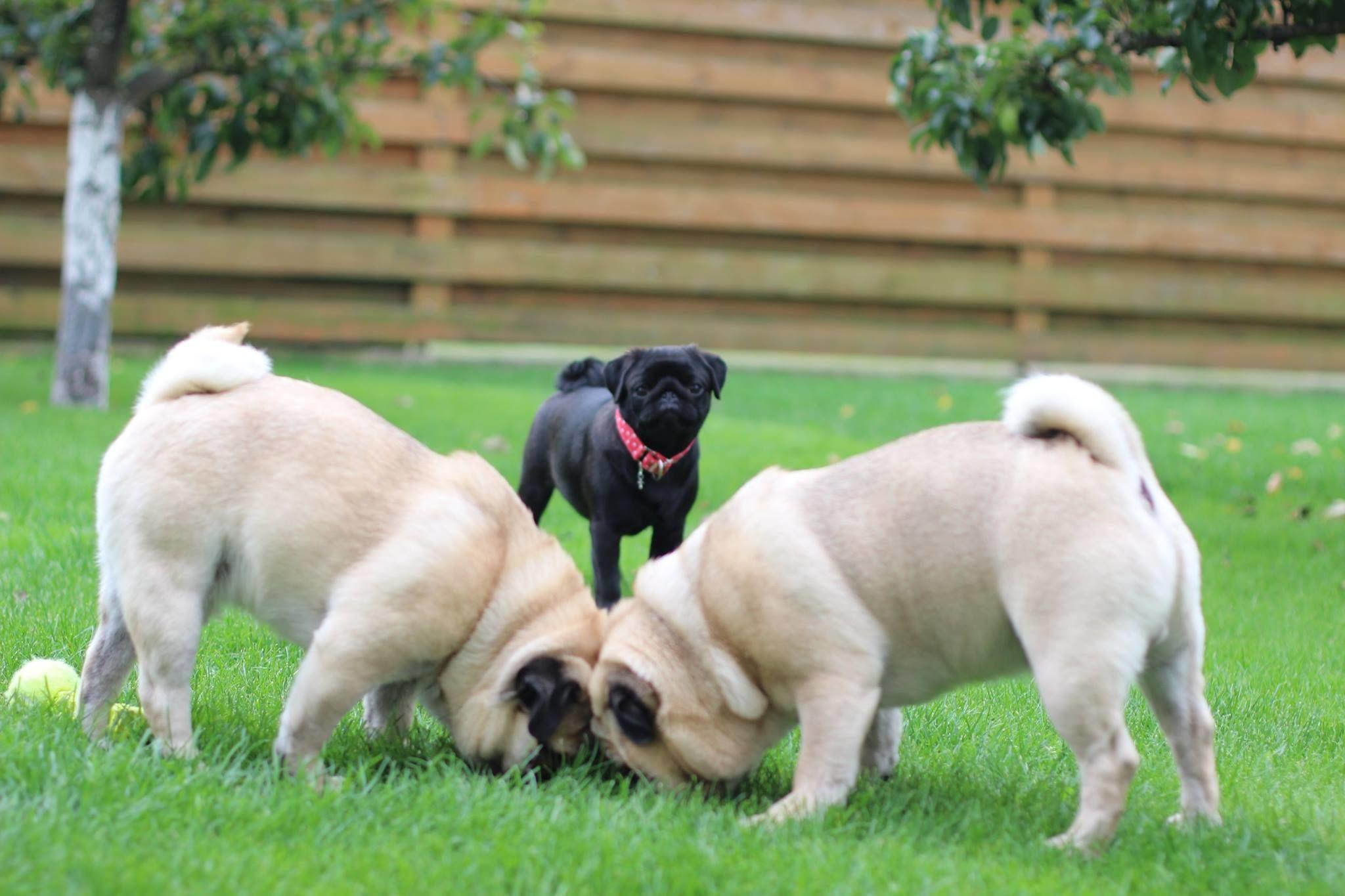 Mopsai – draugiški šunys. Sutaria ir su kitais šunimis, ir su katinais. Žinoma, kartais jie mėgsta pasiautėti, tačiau – tik draugiškai. / Asmeninio archyvo nuotr.