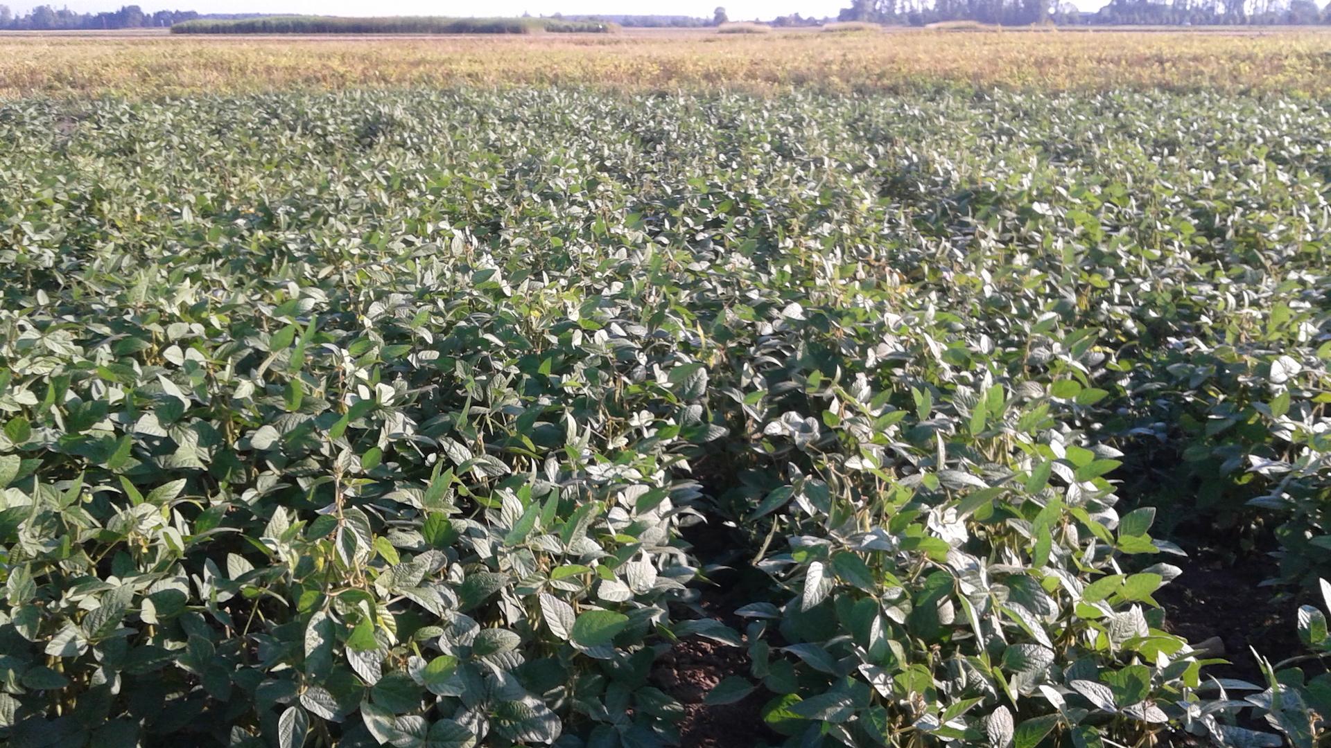 Ekologiškai auginamų sojų pasėlis Žemdirbystės instituto eksperimentuose.