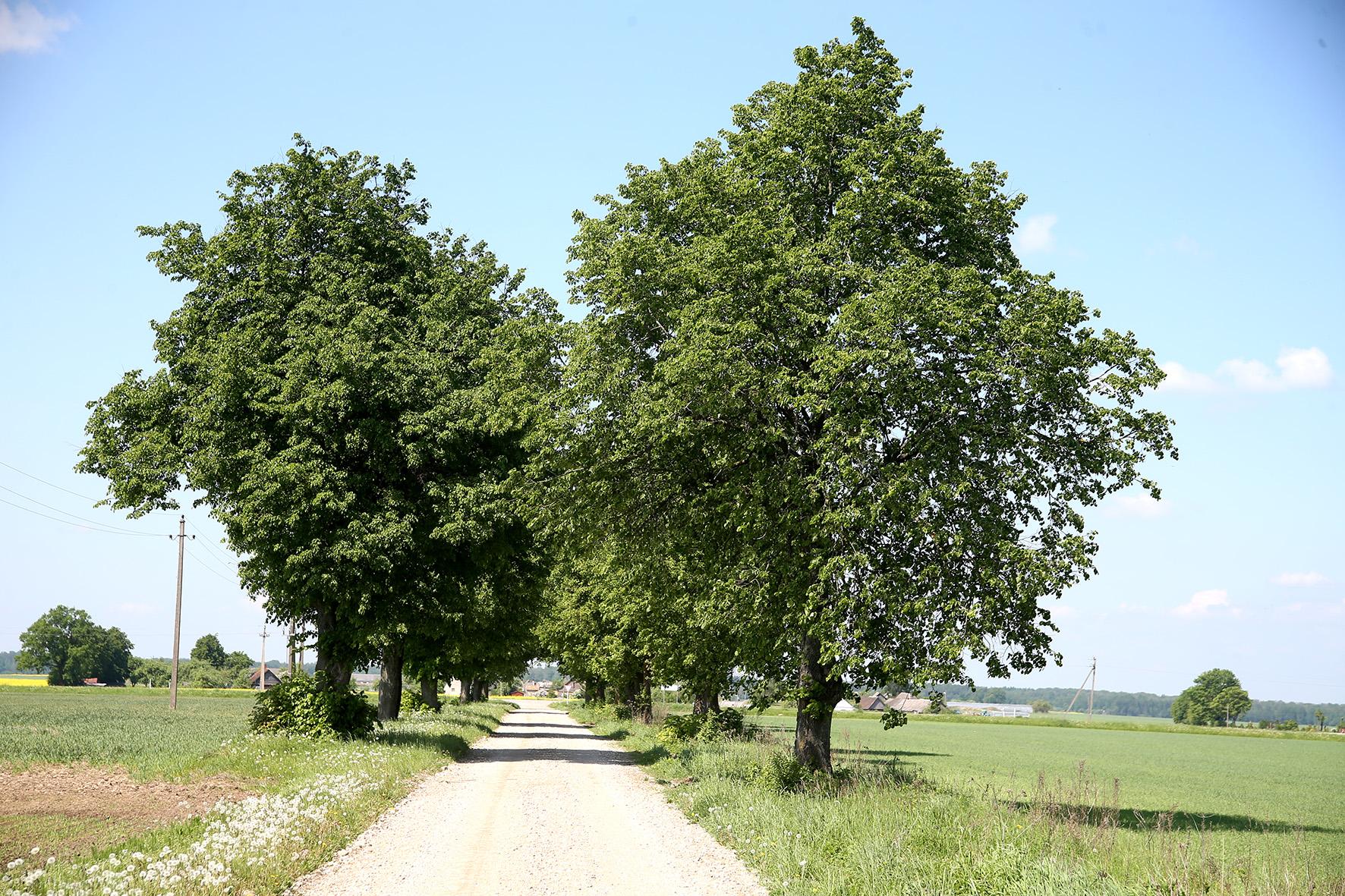 Prieš akis – liepų alėja. Kaip šaunu – į kaimelį keliukas veda liepų alėja. Tikra romantika! Algimanto Barzdžiaus nuotr.