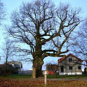 """Čia yra Mikalojaus Daukšos ąžuolas rudenį. Pavasarį jis bus gražus  bei žalias ir po juo gegužę ketinama surengti svarbų savivaldybės renginį: bus pristatytas kitas """"Ąžuolas"""" – lietuviškai kalbantis robotukas. Susijungs senovė su dabartimi ir ateitimi Nuotrauka iš Vikipedijos (By Vilensija - Mano darbas, CC BY-SA 3.0, https://commons.wikimedia.org/w/index.php?curid=29773324)"""